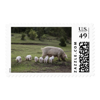 A pig with piglets in a field postage