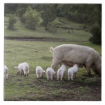 A pig with piglets in a field tile