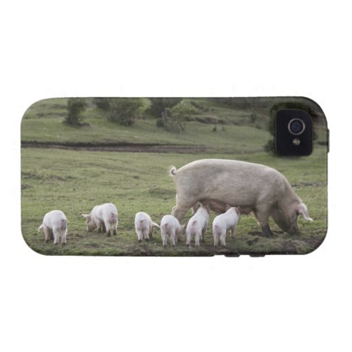 A pig with piglets in a field vibe iPhone 4 case