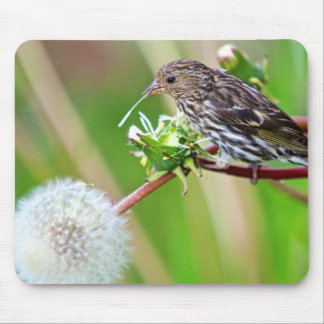 A Pine Siskin (Carduelis Pinus) pecks seeds from Mouse Pad