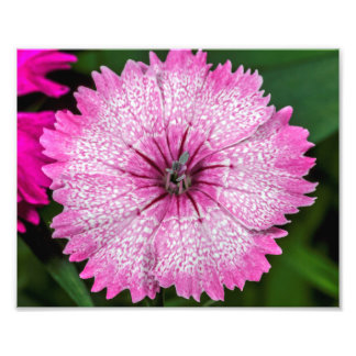 A Pink Dianthus Flower With White Spots Photo Print