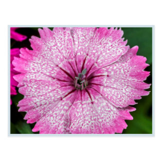 A Pink Dianthus Flower With White Spots Postcard
