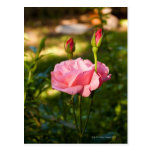 A pink rose and two rosebuds post cards