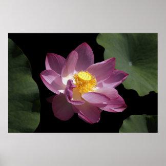 A Pink & Yellow Lotus Flower Print