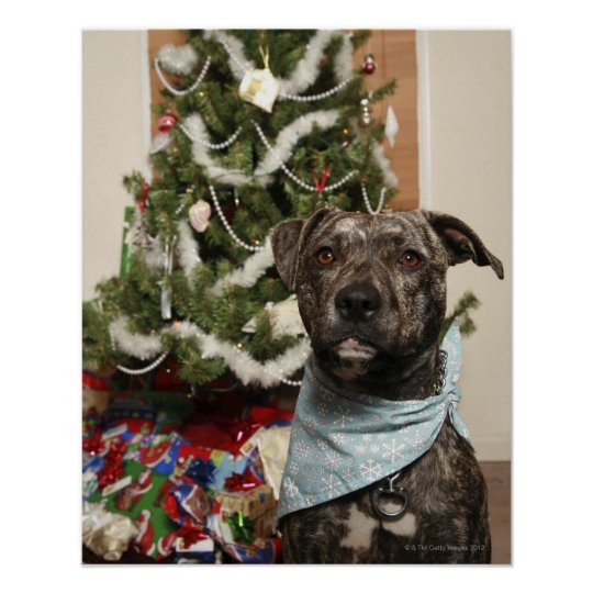 A pit bull posing for a Christmas portrait. Poster