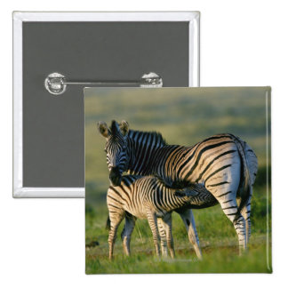 A Plains Zebra feeding her foal, Kwazulu-Natal Buttons