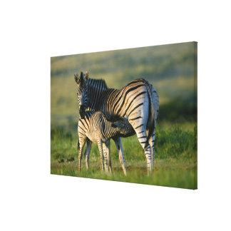 A Plains Zebra feeding her foal, Kwazulu-Natal Gallery Wrapped Canvas