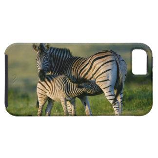 A Plains Zebra feeding her foal, Kwazulu-Natal iPhone 5 Covers