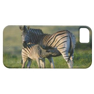 A Plains Zebra feeding her foal, Kwazulu-Natal iPhone 5 Cases