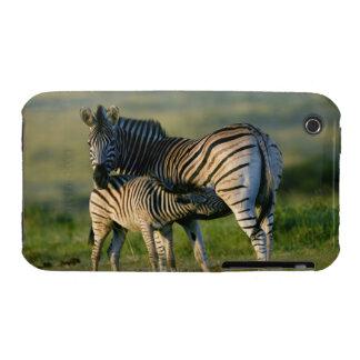A Plains Zebra feeding her foal, Kwazulu-Natal iPhone 3 Cover