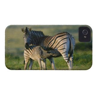 A Plains Zebra feeding her foal, Kwazulu-Natal iPhone 4 Case