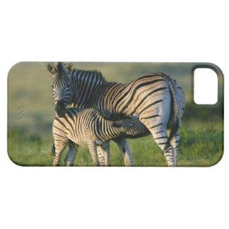A Plains Zebra feeding her foal, Kwazulu-Natal iPhone 5 Case