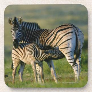 A Plains Zebra feeding her foal, Kwazulu-Natal Coaster