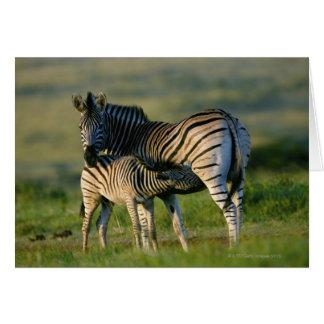 A Plains Zebra feeding her foal, Kwazulu-Natal Greeting Card