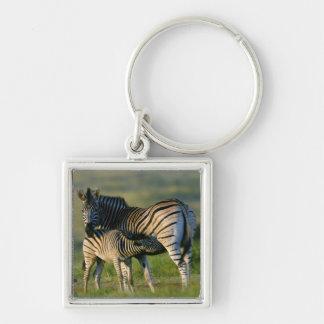 A Plains Zebra feeding her foal, Kwazulu-Natal Key Chain