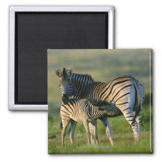 A Plains Zebra feeding her foal, Kwazulu-Natal Refrigerator Magnet