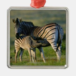 A Plains Zebra feeding her foal, Kwazulu-Natal Metal Ornament