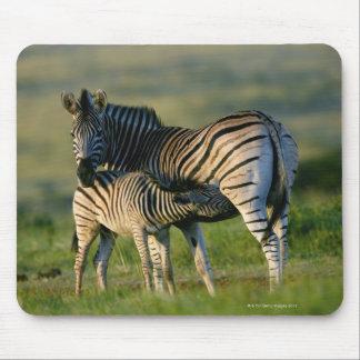 A Plains Zebra feeding her foal, Kwazulu-Natal Mouse Pads