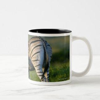 A Plains Zebra feeding her foal, Kwazulu-Natal Coffee Mug