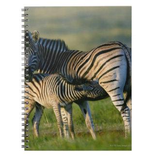 A Plains Zebra feeding her foal, Kwazulu-Natal Spiral Note Books