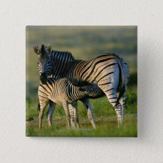 A Plains Zebra feeding her foal, Kwazulu-Natal Pinback Button