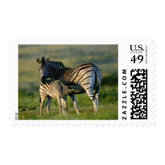 A Plains Zebra feeding her foal, Kwazulu-Natal Stamp