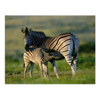 A Plains Zebra feeding her foal, Kwazulu-Natal Post Card