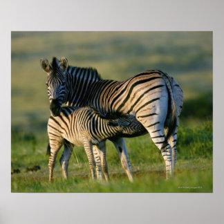 A Plains Zebra feeding her foal, Kwazulu-Natal Poster