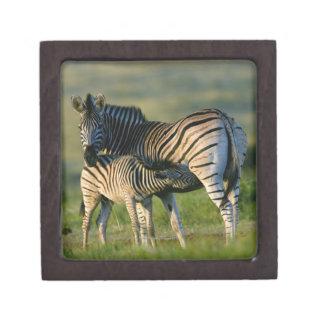 A Plains Zebra feeding her foal, Kwazulu-Natal Premium Gift Box