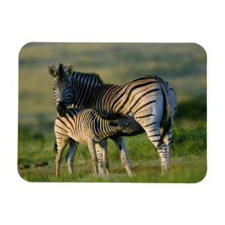 A Plains Zebra feeding her foal, Kwazulu-Natal Magnet