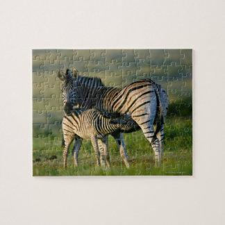 A Plains Zebra feeding her foal, Kwazulu-Natal Puzzle