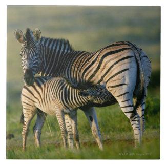 A Plains Zebra feeding her foal, Kwazulu-Natal Tiles