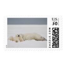 A polar bear cub lies in snow with it's mother postage