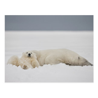A polar bear cub lies in snow with it's mother postcard