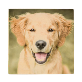 A Portrait Of A Golden Retriever Puppy Wood Coaster