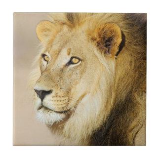 A portrait of a Lion, Kgalagadi Transfrontier Park Ceramic Tile