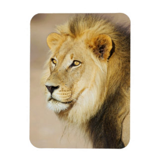 A portrait of a Lion, Kgalagadi Transfrontier Park Rectangular Photo Magnet