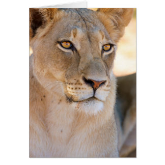A portrait of a Lioness looking into the distance Card