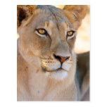 A portrait of a Lioness looking into the distance Postcard