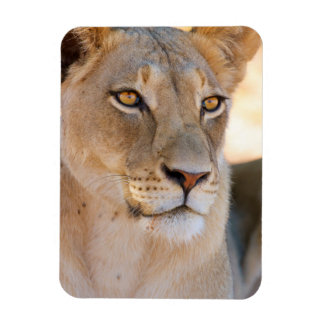 A portrait of a Lioness looking into the distance Rectangular Photo Magnet