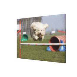 A Portuguese Waterdog jumping over a hurdle Canvas Print