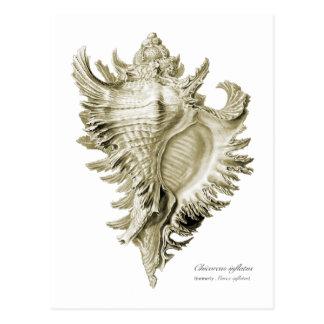 A predatory sea snail postcard
