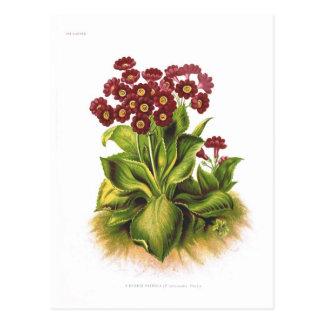 A Primula hybrid Postcard
