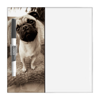 A Pug with its Head Titled to the Side Dry Erase Board