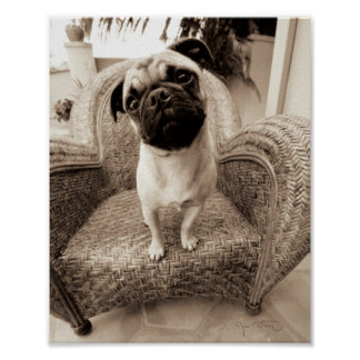 A Pug with its Head Titled to the Side Poster