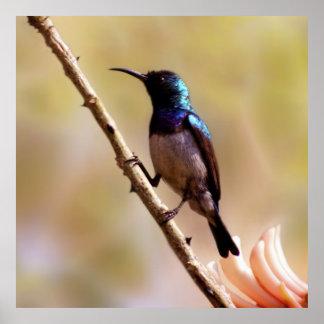 A purple Hummingbird Posters