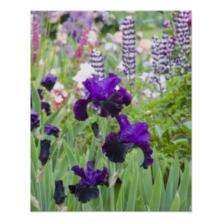 A purple iris blooms brightly in the spring poster