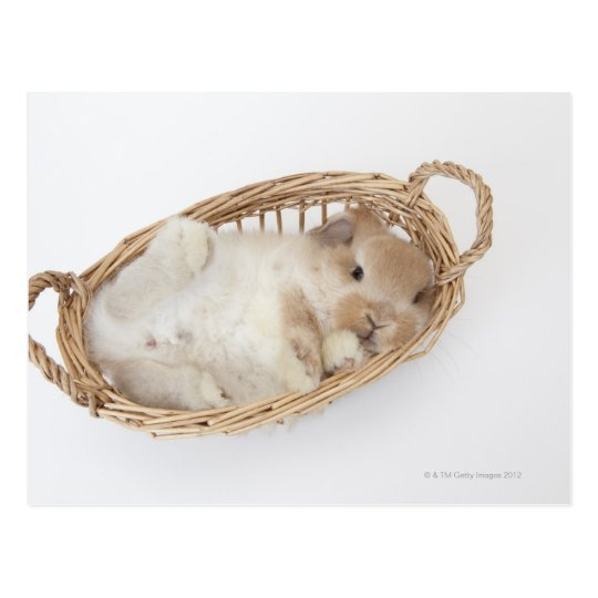 A rabbit is in a basket.Holland Lop. Postcard