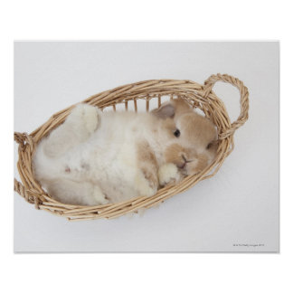 A rabbit is in a basket.Holland Lop. Poster