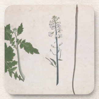 A Radish Plant, Seed, and Flower Coaster